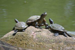 chinese garden turtles