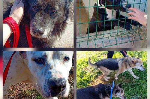 spaniens hemlösa hundar