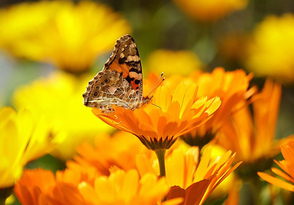 marigold blommor