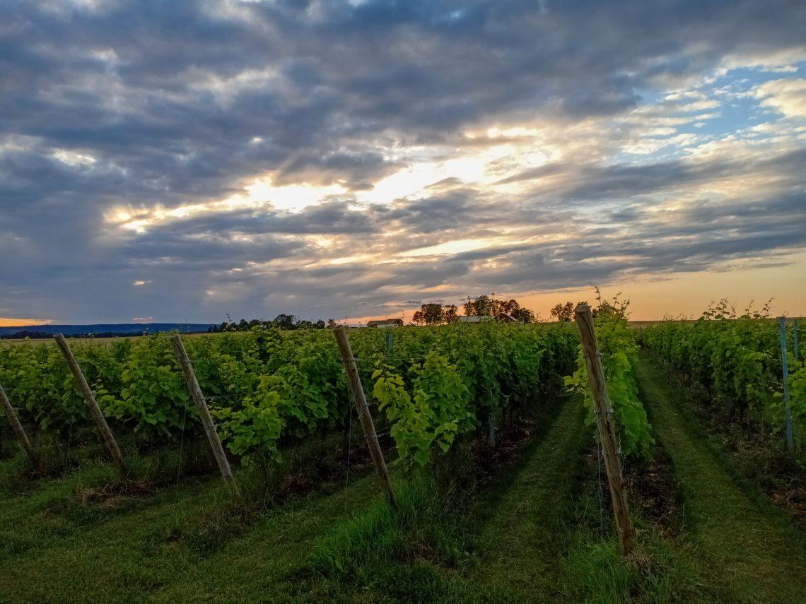 särtshöga vingård